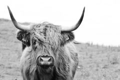 Brown highland cow in black and white. One highland cattle closeup in black and white royalty free stock photos