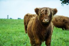 Brown Highland Cow Calf. Eating grass and standing on grass field on a cloudy day Royalty Free Stock Photo
