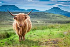 Brown highland cow, green field and blue sky, Scotland. Europe Stock Photo