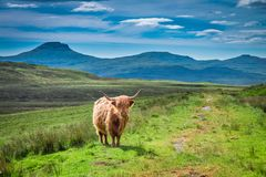 Brown highland cow and green field, Scotland. Europe Stock Image