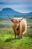 Brown highland cow in Scotland, UK. Brown highland cow in Scotland, United Kingdom Stock Photography