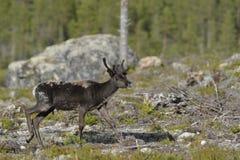 Brown hjortar Arkivbilder