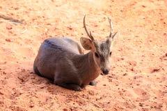 Brown hog deer laying Royalty Free Stock Images