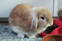Brown holland lop rabbit bunny stock images
