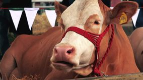 Brown Holstein cows at 83rd Traditional Agricultural fair in Novi Sad, Serbia stock video