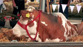 Brown Holstein cows at 83rd Traditional Agricultural fair in Novi Sad, Serbia stock footage