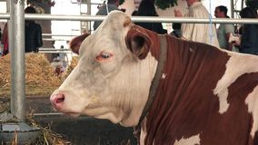 Brown Holstein cows at 83rd Traditional Agricultural fair in Novi Sad, Serbia stock video footage