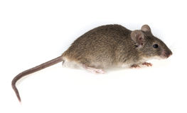 Brown home mouse Royalty Free Stock Images