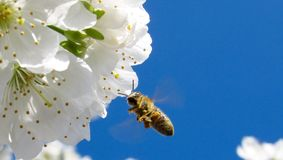 Brown Honey Bee Hovering Under White Petaled Flower during Daytime Royalty Free Stock Photo