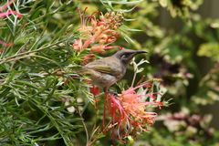 Brown honeyeater bird Royalty Free Stock Images