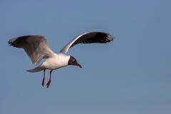 Brown-hooded Gull (Chroicocephalus maculipennis). In flight Stock Images