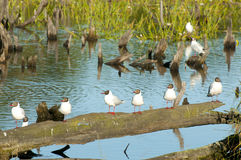 Brown Hooded Gull Colony - Chile Royalty Free Stock Photography
