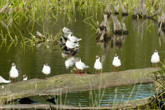 Brown Hooded Gull Colony - Chile Royalty Free Stock Image
