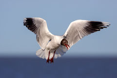 Brown hooded gull Royalty Free Stock Image