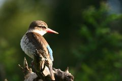 Brown hooded Kingfisher Stock Photography
