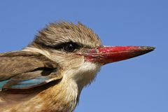 Brown-hooded Kingfisher Stock Image