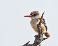 Brown Hooded Kingfisher Stock Photo