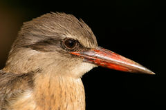 Brown-hooded Kingfisher Stock Photo