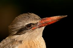 Brown-hooded Kingfisher Royalty Free Stock Photos