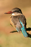 Brown-hooded Kingfisher Stock Images