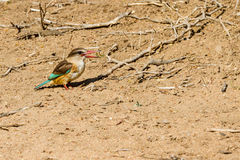 Brown-hooded Kingfisher on Ground. A Brown-hooded Kingfisher standing in the dirt in Kruger National Park, South Africa stock photos