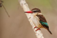 Brown-Hooded Kingfisher (Halcyon albiventris) Royalty Free Stock Photography