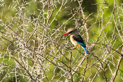 Brown-hooded Kingfisher - Halcyon albiventris Stock Photography