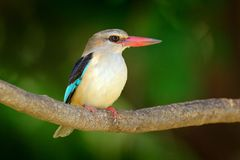 Brown-hooded Kingfisher, Halcyon albiventris, detail of exotic African bird sitting on the branch in the green nature habitat, Cho Royalty Free Stock Photos