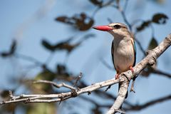 Brown-Hooded Kingfisher (Halcyon albiventris). The Brown-Hooded Kingfisher (Halcyon albiventris) occurs from the Congo and Kenya south to southern Africa. Unlike Royalty Free Stock Photo