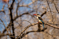 Brown Hooded Kingfisher Halcyon albiventris Sitting on a Branch, South Africa Stock Images
