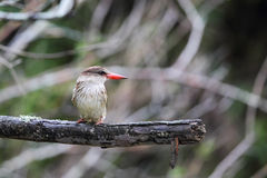 Brown-hooded Kingfisher (Halcyon albiventris) Royalty Free Stock Images