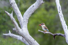 Brown-hooded Kingfisher in Kruger National park, South Africa Royalty Free Stock Photography