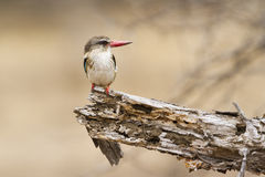Brown-hooded Kingfisher in Kruger National park Royalty Free Stock Image