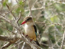 Brown-hooded kingfisher. Mildly elusive african bird, looks like he's smiling Stock Images