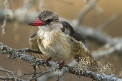 Brown-hooded Kingfisher Royalty Free Stock Photography