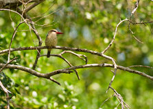 A Brown-hooded Kingfisher waiting for prey. A Brown-hooded Kingfisher sits patiently on a dry branch in the  forests of Shimba Hills waiting for something Royalty Free Stock Photography