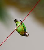 Brown-hooded Parrot Royalty Free Stock Photography