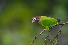 Brown-hooded Parrot. Royalty Free Stock Photography