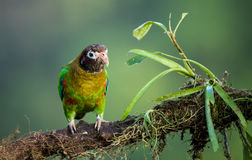 Brown-hooded Parrot Stock Photos