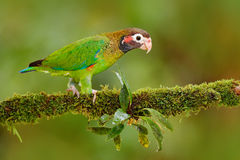 Brown-hooded Parrot, Pionopsitta haematotis, portrait of light green parrot with brown head, Costa Rica. Detail close-up portrait Stock Photos