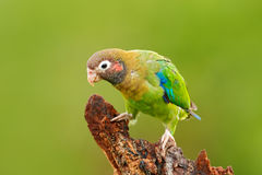 Brown-hooded Parrot, Pionopsitta haematotis, portrait light green parrot with brown head. Detail close-up portrait bird. Bird from. Costa Rica Royalty Free Stock Images