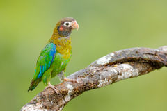 Brown-hooded Parrot, Pionopsitta haematotis, portrait light green parrot with brown head. Detail close-up portrait bird. Bird from. Costa Rica Stock Photo