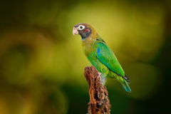 Brown-hooded Parrot, Pionopsitta haematotis, portrait light green parrot with brown head. Detail close-up portrait bird.  Bird fro Stock Images