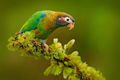 Brown-hooded Parrot, Pionopsitta haematotis, portrait light green parrot with brown head. Detail close-up portrait bird.  Bird fro. Brown-hooded Parrot Stock Images