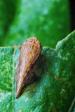 Brown Hopper. A macro photo taken on the top view of a brown leaf plant hopper Royalty Free Stock Photography