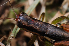 Brown Hopper royalty free stock photography