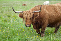 brown horned cow long horns grass Royalty Free Stock Image