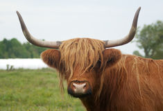 brown horned cow long horns grass Royalty Free Stock Images