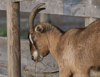 Brown Horned Goat. A horned brown goat standing near a farm fence eating grass near Rhinebeck, NY Stock Photo