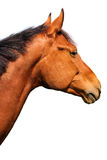 Brown horse. Head isolated on white royalty free stock image